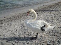 Geneva swan