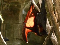 Vampire bats, Bali Bird Park, Bali, Indonesia