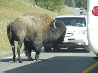 Yellowstone National Park, buffalo