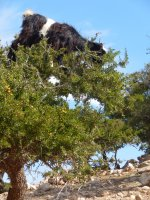 Morocco goats in trees